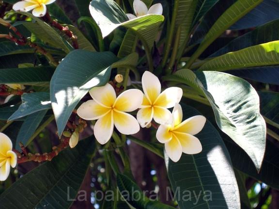 flor-de-mayo